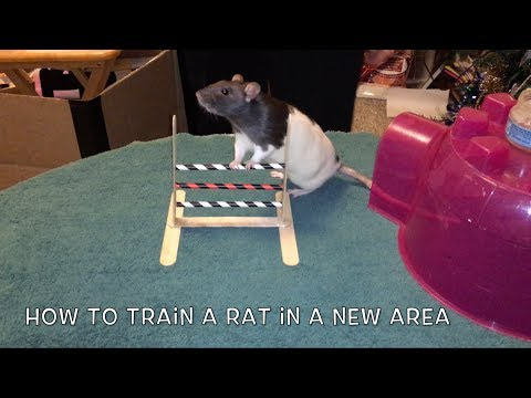 How To Train A Rat In A New Area - First Table Top Training Session!