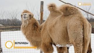Выпуск №6 «Верблюды»