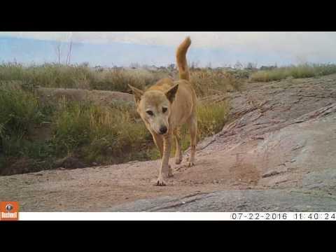Camera Trapping the Australian Desert