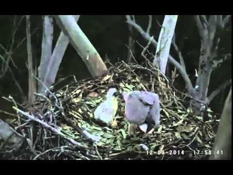 Sea Eagle Cam Goodbye S13 9 12 14