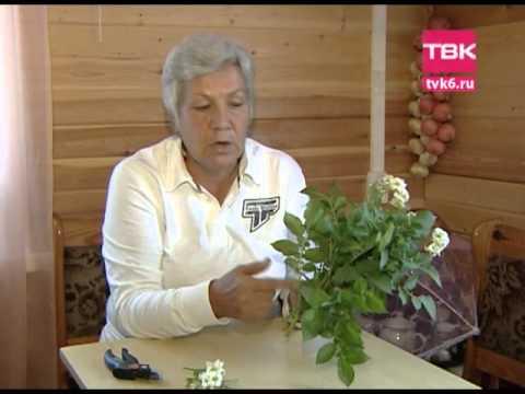 Советы тети Тани. Цветы картофеля