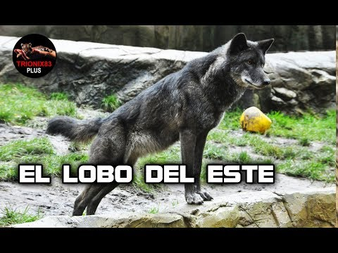 lobos-gigantes-–-el-lobo-mas-fuerte-del-mundo-–-el-lobo-del-este