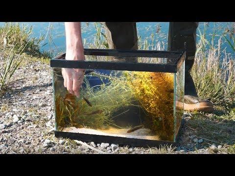 Building Wild Aquarium FREE + Baby Bowfin