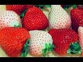 Strawberries in Japan Japanology