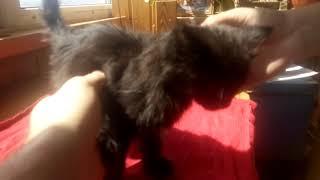 Черный Пушистый котенок, 5 недель ищет хозяина