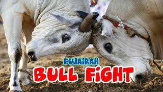 Giant Bulls Fighting in Fujairah - UAE Traditional Bull sport