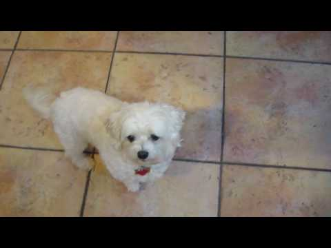 Maltese dog - cute dog dancing for favorite food