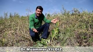 Dr. Muammer Yıldız, Efsane Bitki Adam Otunu Buldu