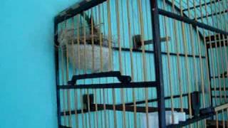 Femea de Coleiro Lilica Machiando (Aracruz - E.S)