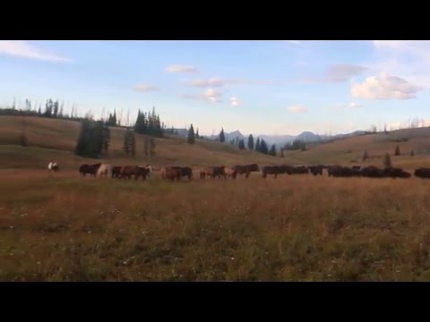 """Yellowstone pack trip, """"Horses, mules and bison"""""""
