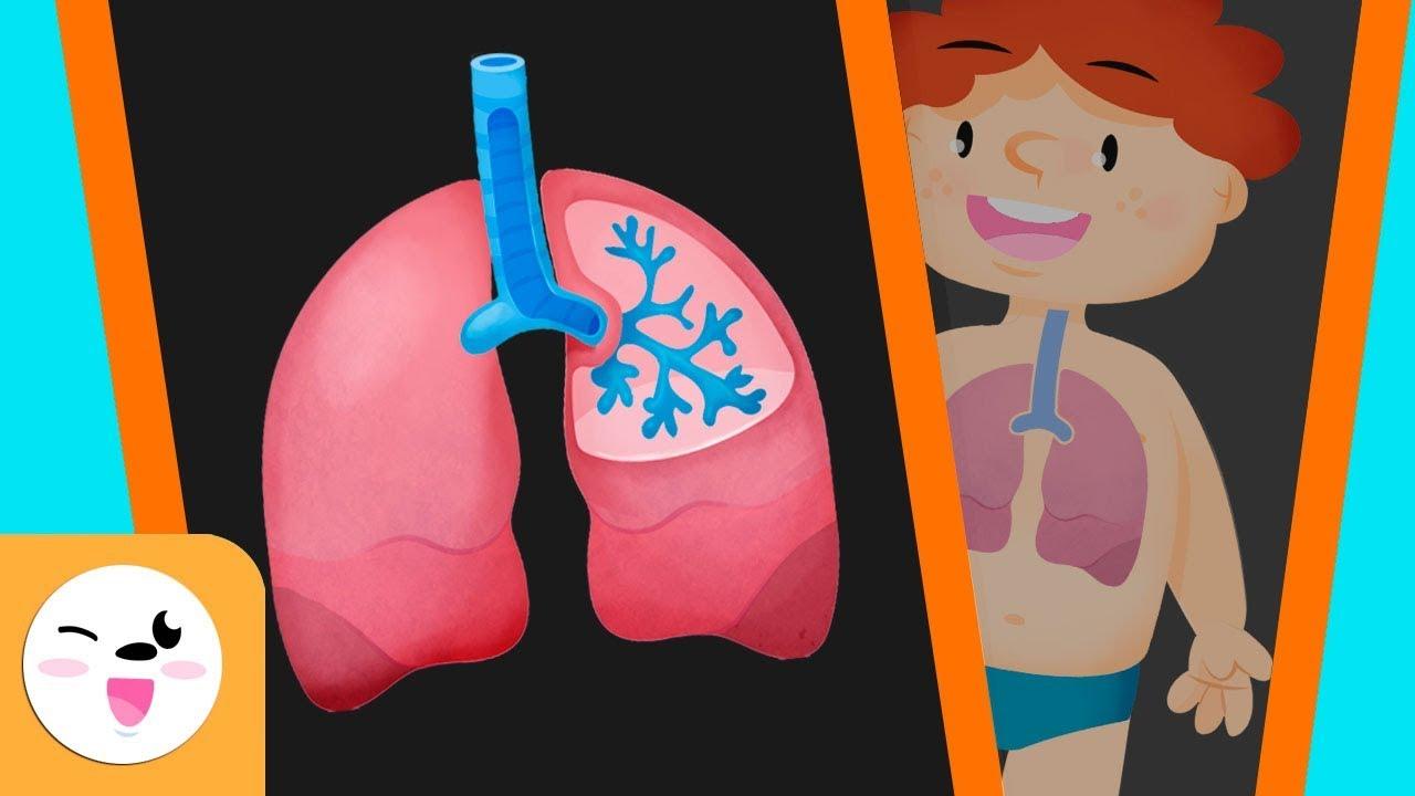 El sistema respiratorio del cuerpo humano para niños - Smile and ...