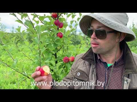 Яблоня полукультурка сорт СЕРЕБРЯНОЕ КОПЫТЦЕ.  Неубиваемый летний сорт яблок.