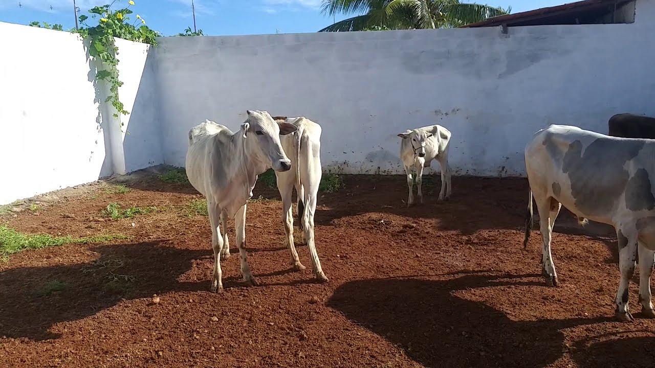 Feira de animais de Bom Jesus Rio Grande do Norte19/01/2020