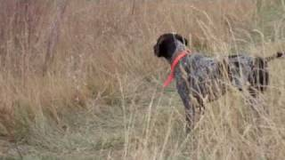 German Shorthair Pointer Hunt