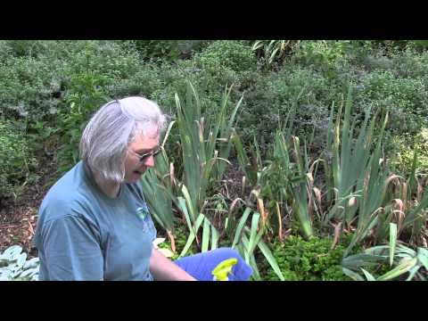 How to care for Iris Plants