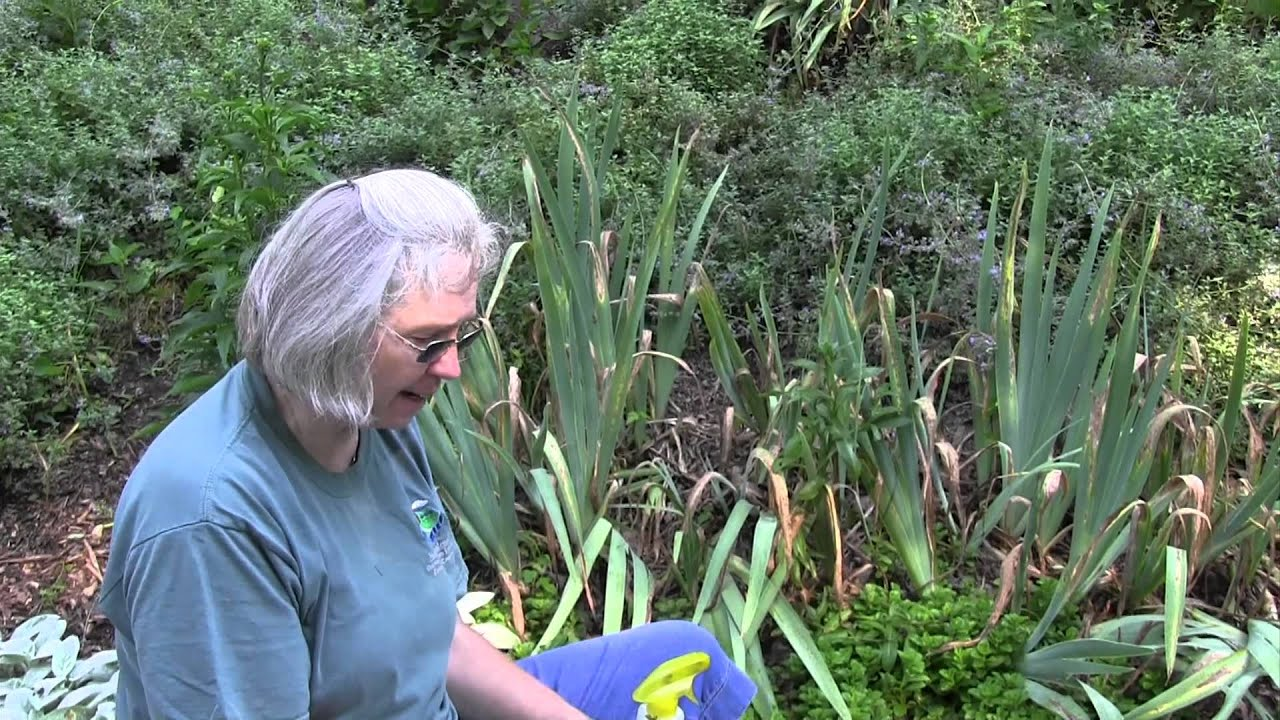 Providing Tree And Plant Care: How To Care For Iris Plants