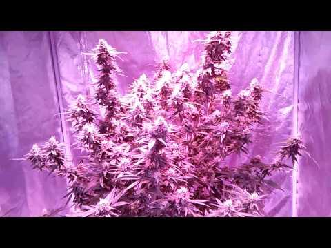 4×8 1200 watt Led grow tent chocolate master kush