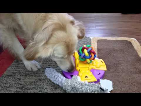 Smart Dog Eating From Kygen Paw Flapper Puzzle Feeder Toy - Golden Retriever