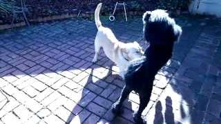 Dog Ballet (standard Poodle And Yellow Lab) Slow Motion