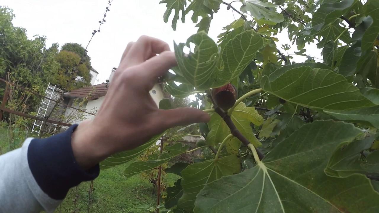 фото инжир дерево