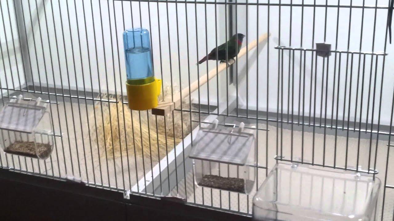 eerste nesten erythrura coloria red eared parrotfinch
