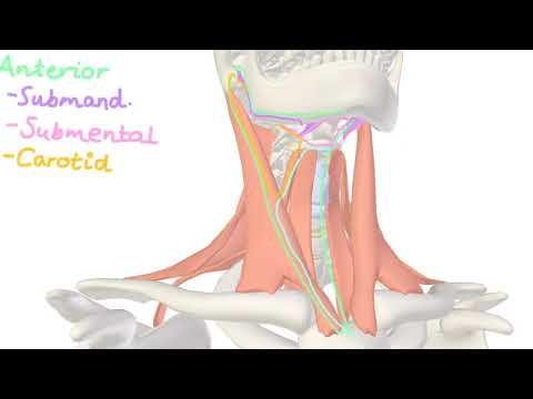 Neck Anatomy -