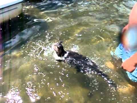 Cat Swimming Backus Minnesota 7-18-10
