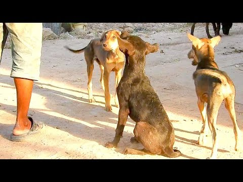 Dog Care/ Ridgeback dog and Desi dog waiting for food