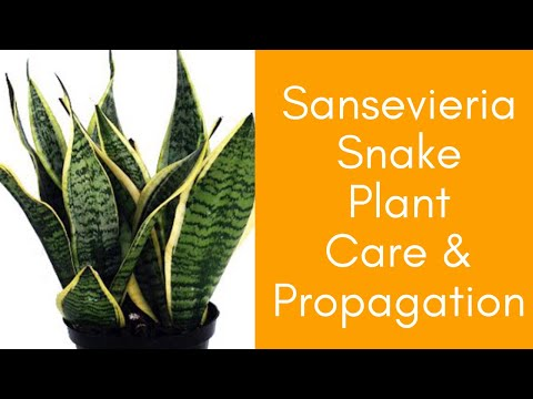 Sansevieria Snake Plant PROPAGATION care and BENEFITS of Mother in law's tongue -Moody Blooms