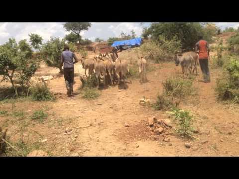 Poor Working Donkeys at Mwakitolio local Gold mining-Tanzania