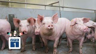 Nghệ An: 14 huyện có dịch tả lợn Châu Phi