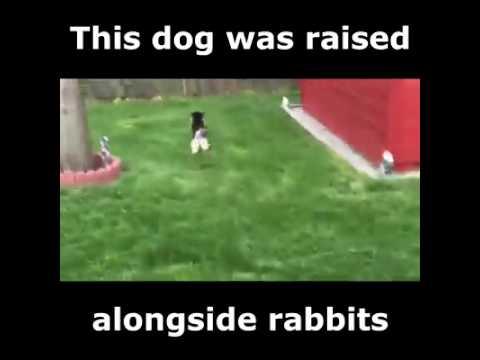 A Dog Was Raised  Alongside Rabbits