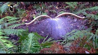 Superb lyrebird ...