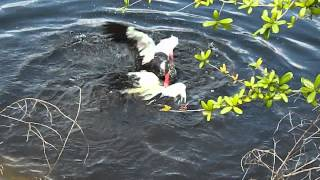 Male Muscovy Ducks have a violent fight in the water