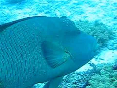 Friendly napoleon fish at red sea youtube for Red sea fish