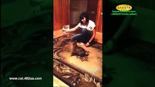 Приручение к рукам бенгальского котенка через игру в новом доме