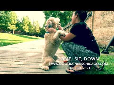 Best Dog Training in Chicago! 1 Year-Old Wheaten Terrier, Jackson!