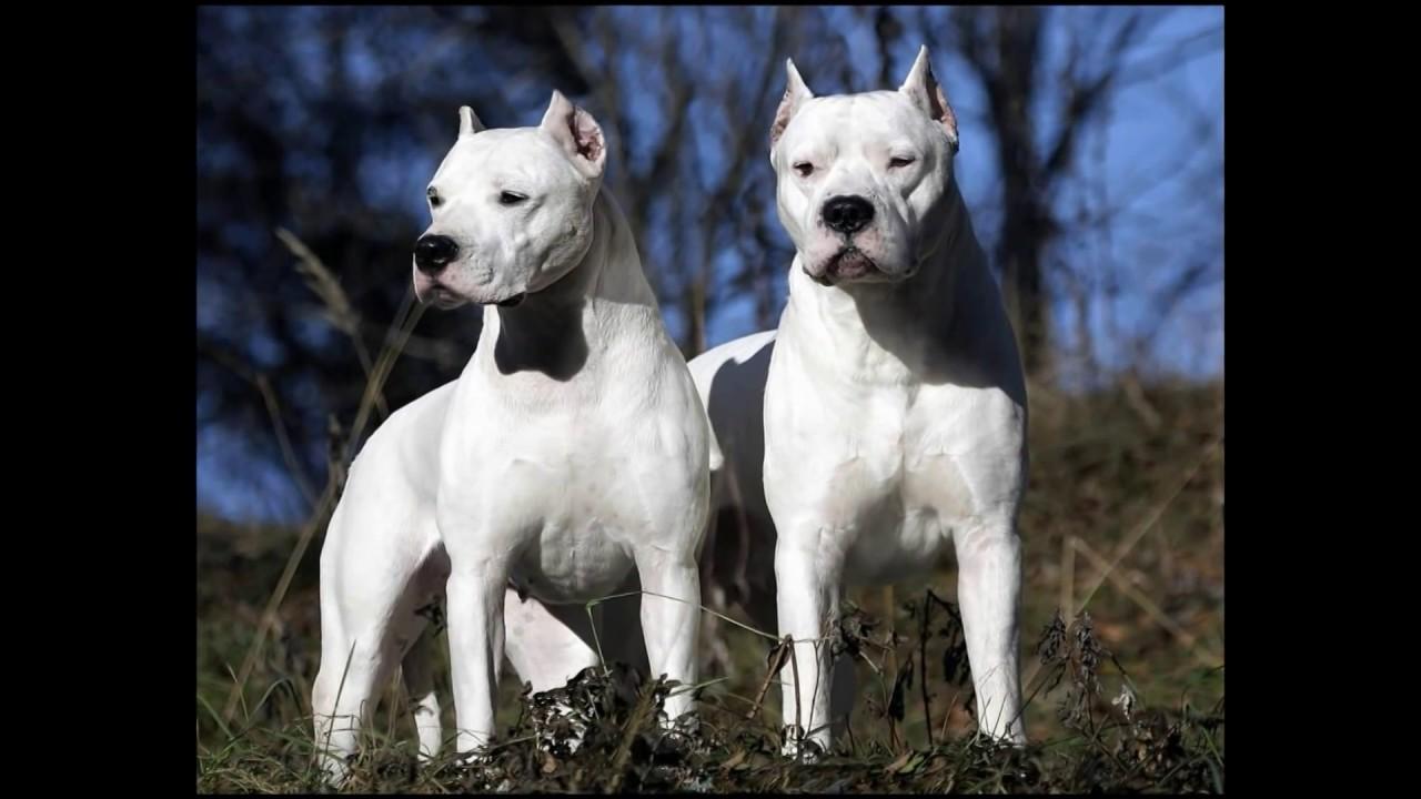 presa canario pitbull on steroids