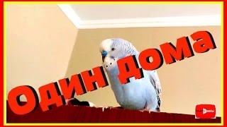 Как мои попугаи остаются дома сами || Один дома || Vолнистик-TV