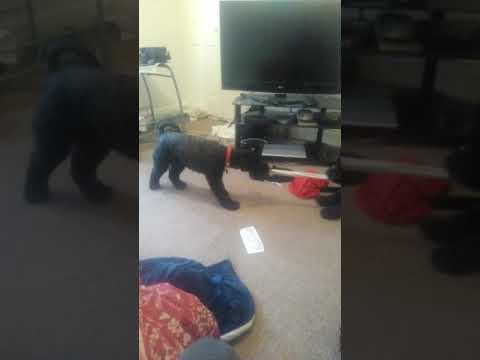 Kerry blue terrier tug of war playing