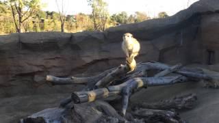 ミーヤキャットの鳴き声… 緒方剛志 検索動画 1