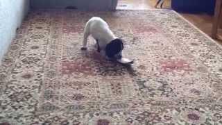 Русский охотничий спаниель (РОС). Отработка подачи. Щенок 1.5 мес