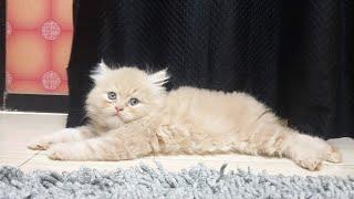 How to train your persian cat kitten |spa|cat|Training my tabby persian kitten hi five n shake hands