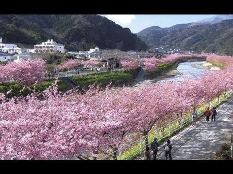 """日本の花""""さくら""""の開花が早まりそうだ。"""