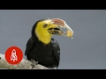 The Sulawesi Tarictic Hornbill's Flight for Survival