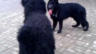 Немецкая овчарка (10 мес) и Черный русский терьер - Собака Сталина (2,5 года)