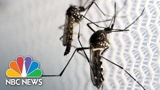 Should We Really Fear Genetically Modified Zika Mosquitoes? | Scientificus | NBC News