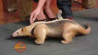 You Have to See This Baby Anteater -- He's ADORABLE!