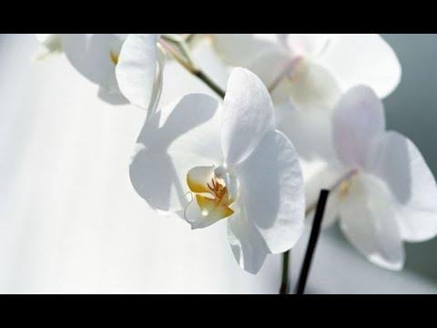 Cuidados Y Mantenimiento De Las Orquideas Decogarden Youtube - Orquideas-blancas-cuidados