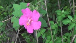 Rock Roses Cistus albidus growing in Austin Tx Shoal Creek